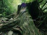 切り株の爺  PH-A4-062  屋久島 世界遺産 白谷雲水峡 切り株 森 もののけの森の画像