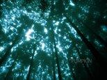 霧の森-No3  PH-A4-067   御蔵島 スダジイ 椎の木 森 雨 霧 杉  の画像
