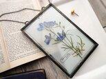 植物標本 ■ 押し花の壁掛けフレーム ■ デルフィニューム グランブルーの画像