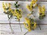ミモザ ドライフラワー花材 小枝5~6本セット ハーバリウムやレジン ボタニカルキャンドルなどにの画像