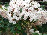 ビバーナム・ティヌス 苗木(約60~70㎝) 春にピンクの小花がたくさん咲きますの画像