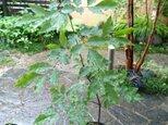 アオダモ  現品苗木  両翼を広げ傾斜した樹形  (約52~56cm)の画像