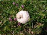 まんまる羊のストラップ(ピンク)の画像