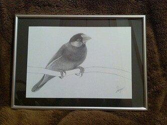 文鳥 - sakura -の画像
