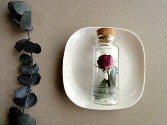 植物標本 Botanical Collection■No.R-15 バラ ラブリーリディアの画像
