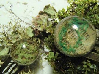 苔っピン/コツボゴケ、ヤマヒコノリの画像
