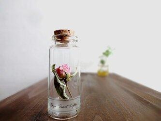 【展示のみ】植物標本 Botanical Collection■No.R-16 バラ スィートリディアの画像