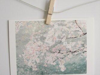 川の上に咲く桜 / postcard 2枚組の画像