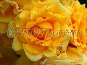 ★送料無料★黄色のお花の写真「黄金の宝」の画像