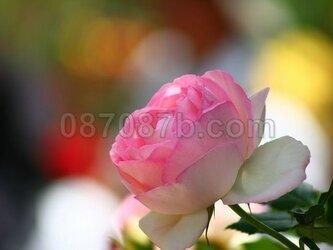★送料無料★ピンクのお花の写真「愛」の画像