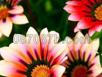 ★送料無料★赤のお花の写真「優美」の画像