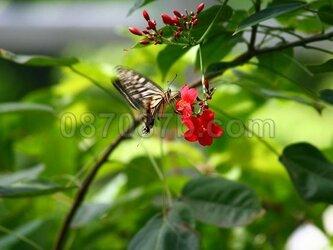 ★送料無料★蝶の写真「舞踏会」の画像