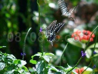 ★送料無料★蝶の写真「舞」の画像