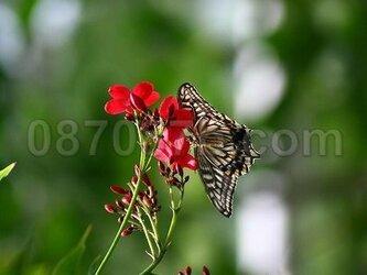 ★送料無料★蝶の写真「旅立ち」の画像