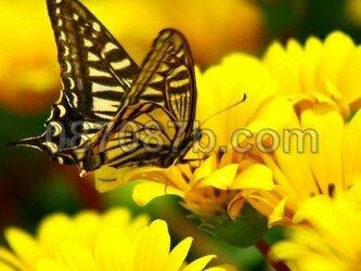 ★送料無料★蝶の写真「飛躍」の画像