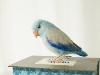 マメルリハ(ブルー)の画像