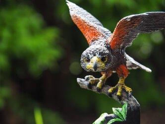ハリスホーク  【Harris's Hawk】の画像