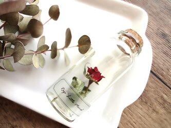 植物標本 Botanical Collection■No.R-18 バラ リトルマーベルの画像