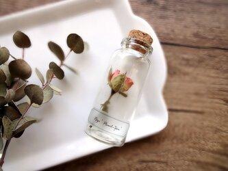 【展示のみ】植物標本 Botanical Collection■No.R-20 バラ ピーチゼンの画像