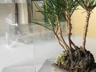 京都造りクロ松の芽吹きボンサイの画像