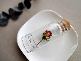 植物標本 Botanical Collection■No.R-22 バラ カンタービルの画像