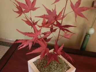 もみじの盆栽 「紅葉」プリザーブド加工済 秋の画像