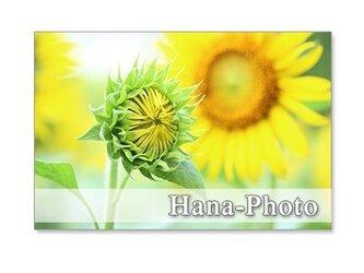 1250)ヒマワリのツボミ     ポストカード5枚組の画像
