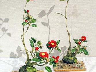 紅椿2鉢の画像