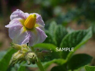 野菜の花の画像