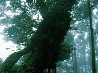 霧の森-No2  PH-A4-066   御蔵島 スダジイ 椎の木 森 雨 霧  の画像