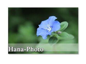 1257) アメリカンブルー、ノウゼンカズラ、松葉牡丹、アゲラタム    5枚組ポストカード の画像