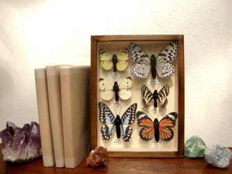 「リニューアル」フェイク日本の蝶標本A5サイズ。の画像