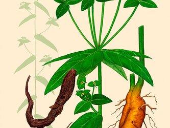 ハーブダイアリー B-A4-01 ボタニカルアート イラスト タカトウダイ 植物画 漢方 薬草 根の画像