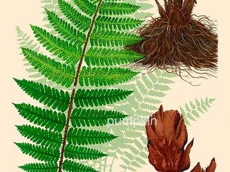 ハーブダイアリー B-A4-012  ボタニカルアート イラスト 貫衆 植物画 漢方 薬草の画像