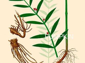 ハーブダイアリー B-A4-025 ボタニカルアー イラスト 白前 植物画 漢方  薬草 根の画像