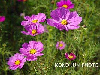 秋桜「ポストカード5枚セット」の画像