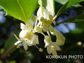 ヒイラギの花「ポストカード5枚セット」の画像