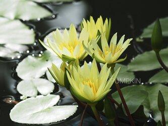フェアリーテール  PH-A4-0132 花 蓮 黄色 白 水辺の画像