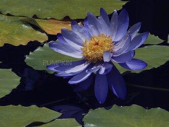 フェアリーテール-2  PH-A4-0133 花 蓮 紫 紫煙 水辺の画像