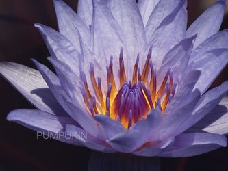 フェアリーテール-3  PH-A4-0134 花 蓮 紫 紫煙 水辺の画像