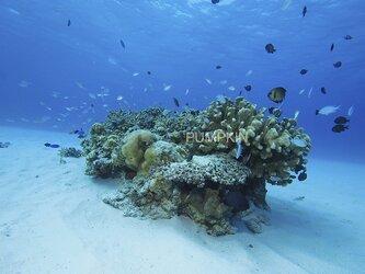 白砂のサンゴ-2  PH-A4-0136 沖縄 慶良間諸島 写真 水中 白砂 サンゴ砂の画像