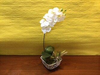胡蝶蘭の鉢植え (ホワイト)の画像
