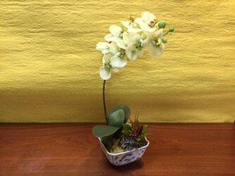 胡蝶蘭の鉢植え (淡いミント)の画像