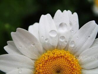 しずく-No-18  PH-A4-0150   写真 雫 雨 水滴 雨つぶ 小雨 光 水玉の画像