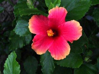 ハイビスカス-1  PH-A4-0158 沖縄 慶良間諸島 座間味島 村の花 ハイビスカスの画像