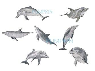 Dauphin.D-1 A4-01 鉛筆画 素描 デッサン イラスト イルカの画像