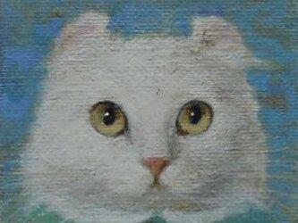アメリカンカールの画像