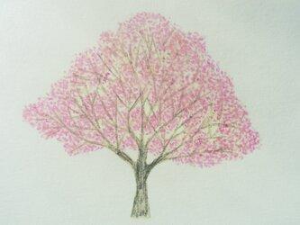 ポストカード(2枚) 桜の画像