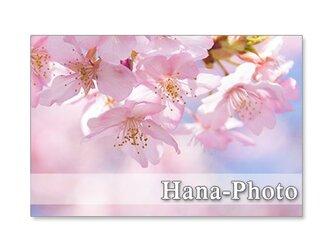 1297)河津桜、しだれ桜、緋寒桜、八重枝垂れ桜        ポストカード5枚セットの画像