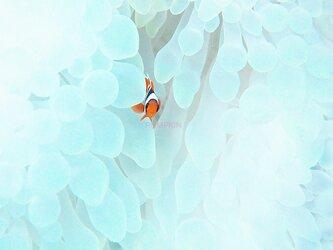 紅の華 PH-A4-0160 沖縄 石垣島 ハマクマノミ クマノミ 水中 魚 サカナの画像